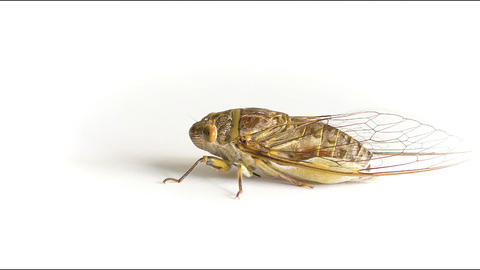Live adult cicada on a white background Stock Video Footage