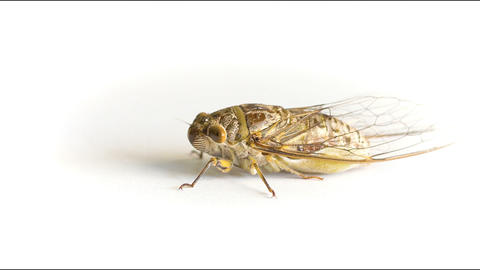 Live adult cicada on a white background Footage
