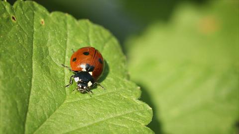 Coccinella septempunctata (seven-spot ladybird) on Footage