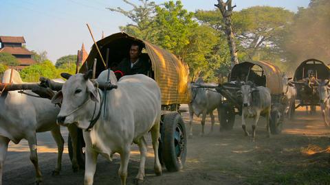 BAGAN. MYANMAR - CIRCA JAN 2014: Carts drawn by co Footage