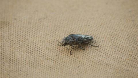Big Click Beetle On Floor stock footage