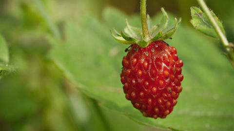 Wild red strawberry close-up Footage