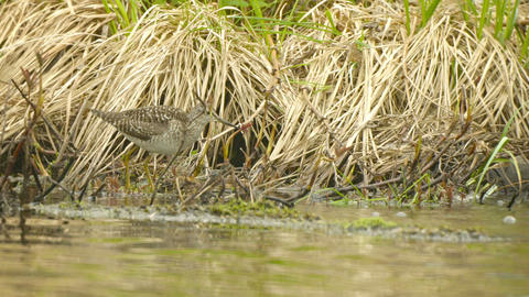 Pectoral sandpiper (Calidris melanotos) fed by the Footage
