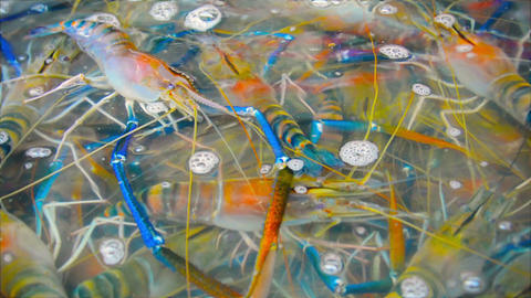 Live Giant river prawns for sale at the market. Ca Footage