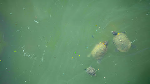 Turtles live in dirty water in the city. Singapore Footage