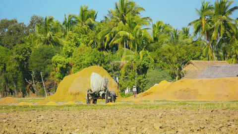 Wooden wagon delivers rice husks in the fields. Bu Footage