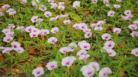 Convolvulus arvensis. Field Bindweed flowers on th Footage