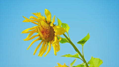 Sunflower flower on a blue background Footage