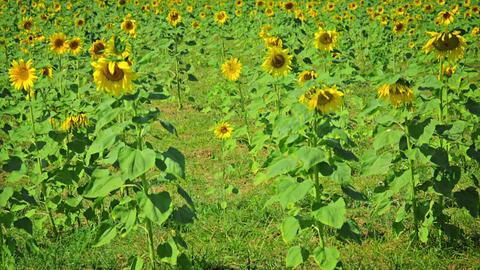 Sunflower field with flowering plants. Thailand Footage