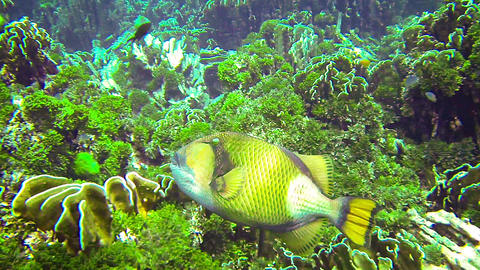 Titan triggerfish (giant triggerfish or moustache  Footage