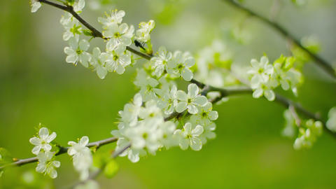 Cherry blossoms. White flowers close-up Footage
