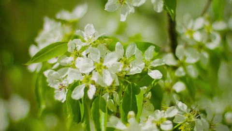 Flowers of apple in the garden close up Footage
