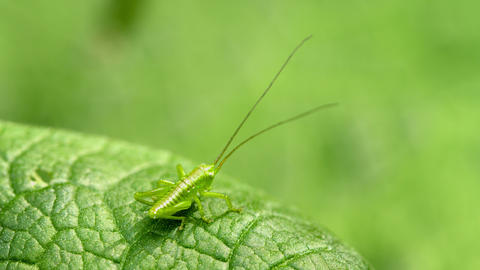 The larva of grasshopper. Animal uses disguise Footage