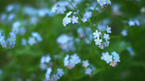 Blue forget-me flowers close up. Shallow depth of  Footage
