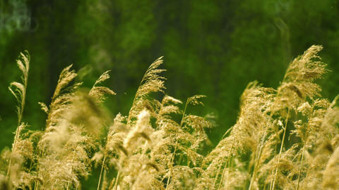 Phragmites (common reed) swaying in the wind Footage