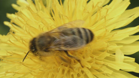Bee pollinating a flower of a dandelion close up Footage