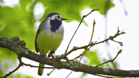 Wagtail. The bird sits on a branch in the forest Footage