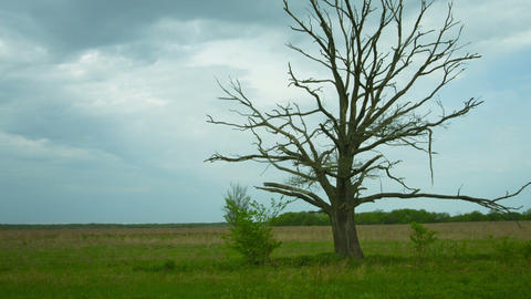 Dead tree in the field. Dry old oak with panning a Footage