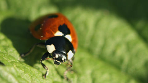 Ladybird (disambiguation) on green leaf close up Footage