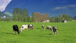 4K Sunny Countryside Scenery Cows In Pasture stock footage