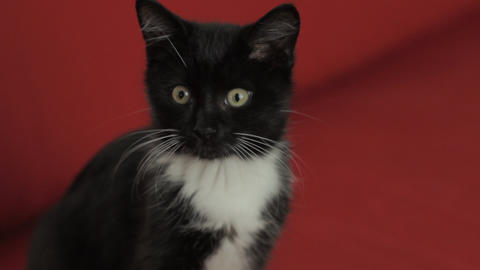 Black And White Kitten stock footage