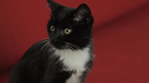 Black and white kitten Stock Video Footage