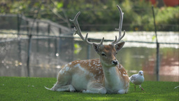4K Buck Deer And A Seagull stock footage