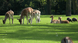 4K Deer Grazing On The Lawn stock footage