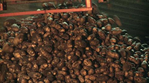 Potato dropping of conveyor belt 06 Live Action