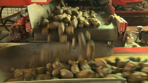 Potatoes on conveyor belt 08 Live Action