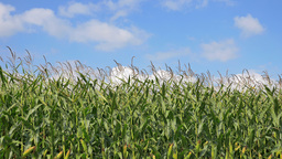 4K Agricultural scenery with cornfield in summer Footage
