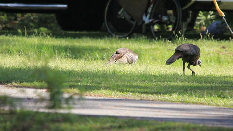 turkeys foraging in campground Footage
