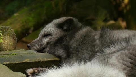 polar fox (vulpes lagopus) sleeping extreme closeu Footage