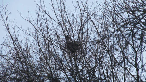 Crow hatching in the nest 2 Stock Video Footage