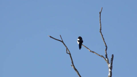 Magpie (Pica-pica) on a tree branch Stock Video Footage