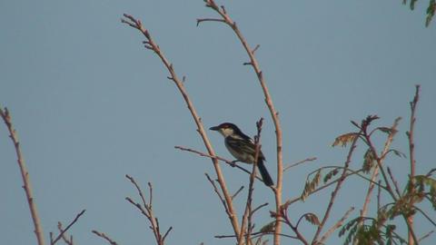 Malawi: bird on swaying branch Stock Video Footage