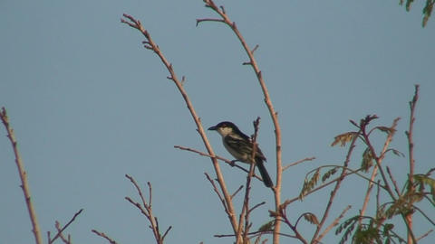 Malawi: bird on swaying branch Stock Video Footage