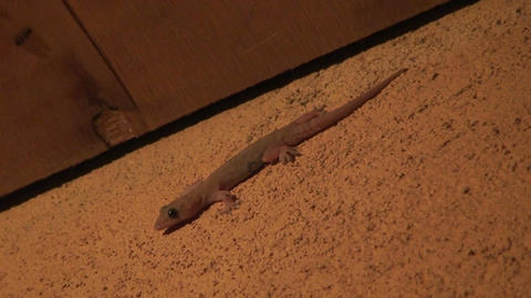 Malawi: gecko runs away at sunset Footage