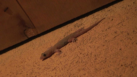Malawi: gecko runs away at sunset Stock Video Footage