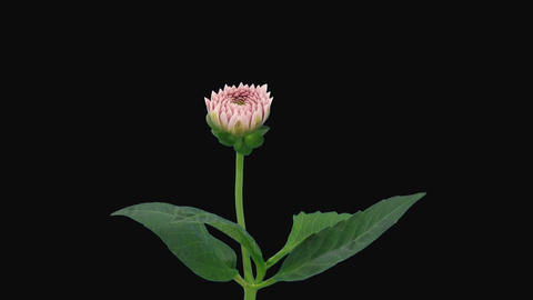 Time-lapse of opening pink dahlia with alpha matte 8 Stock Video Footage
