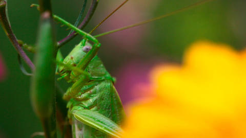 Grasshopper Stock Video Footage