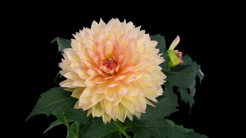 Time-lapse of dying pink yellow dahlia with alpha matte 3 Stock Video Footage