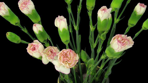 Time-lapse of growing pink white Dianthus flower 2b Stock Video Footage