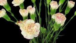Time-lapse of growing pink white Dianthus flower 2b Footage