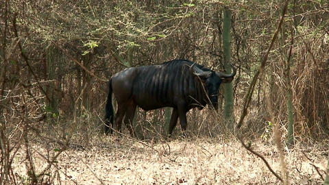 Malawi: blue devil in a wild 1 Stock Video Footage