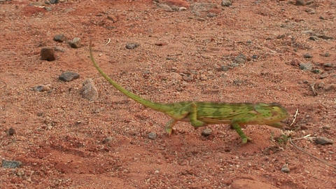 Malawi: chameleon walking in a wild 1 (part B) Stock Video Footage