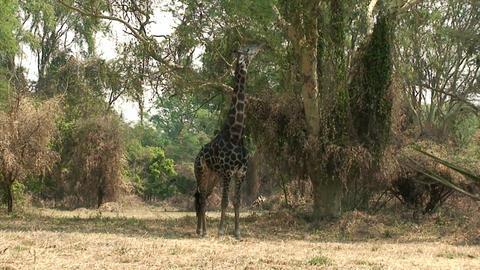 Malawi: giraffe in a wild 2 Footage