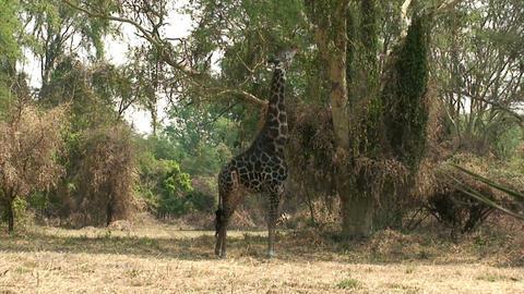 Malawi: giraffe in a wild 2 Stock Video Footage