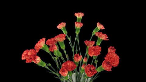 Time-lapse of growing red Dianthus flower 3b Stock Video Footage