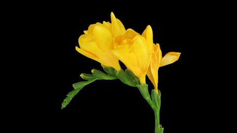 Time-lapse of opening yellow freesia flower 2 (DCI-2K) Footage